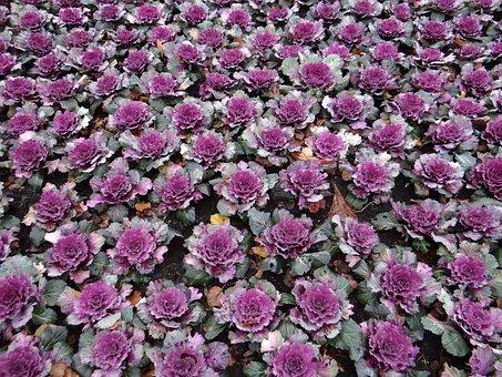 Decorative Cabbage, Flowerbed, Rose, Parterre, Park