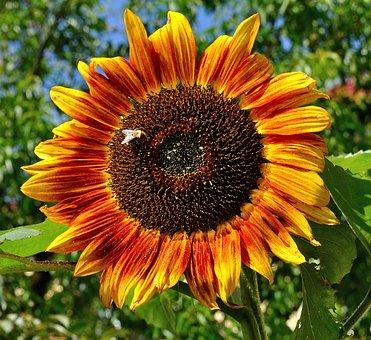 Garden, Summer, Sun Flower, Sunflower, Close, Flowers