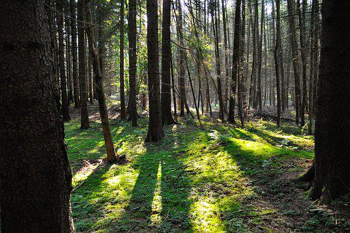 Forest, Sun, Shadow, Trees, Light, Nature, Morning