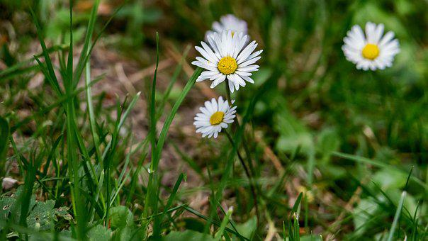 Garden, Daisy, Plant, Flower, White, Blossom, Bloom