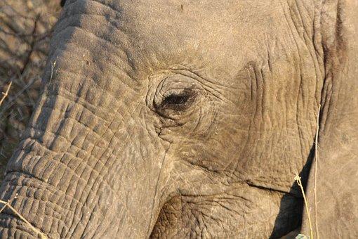 Elephant, Wildlife, Safari, Big, Reserve, Nature