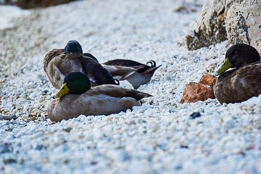 Greece, Ducks, Waterfowl, Animal, Sleeping Duck