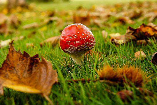 Mushroom, Fly Agaric, Autumn, Poisonous, Nature, Fall