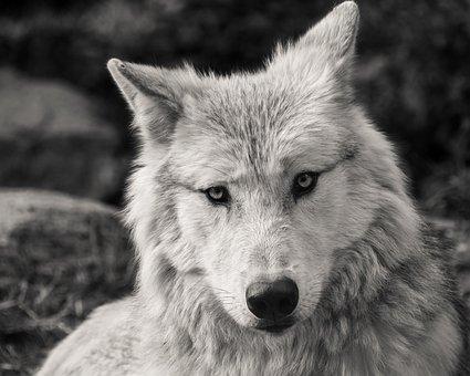 Wolf, Predator, Black And White, Head, Animal, Wild