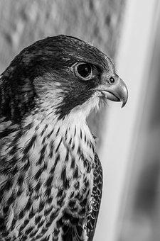 Bird, Peregrine Falcon, Chicks, Black White