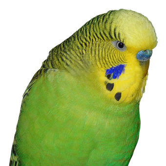 Budgie, Bird, Animal World, Small Bird, Parakeet, Green