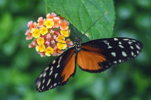 Butterfly, Exotic, Insect, Hecale, Flowers