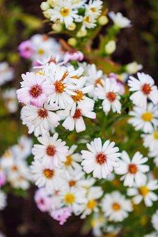 Daisy, White, Closeup, Garden Flower