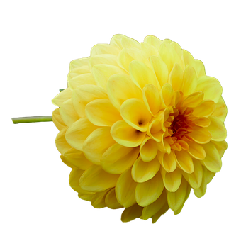 Dahlia, Dahlia Flower, Yellow, Garden, Late Summer