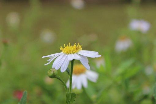 Daisy, Flowers, Bloom
