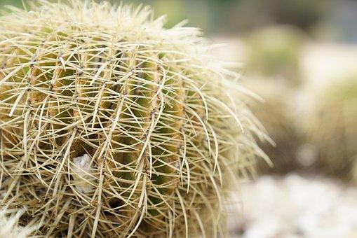 Echinocgtus Grusonii, Cactus, Spikes, Thorn, Beware