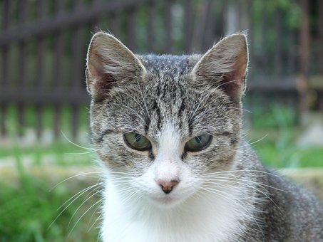 Cat, Pet, Animal, Kitten, Eyes, Kitty