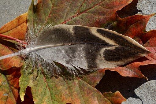 Duck Feather, Leaves, Fall Foliage, Autumn, Leaf