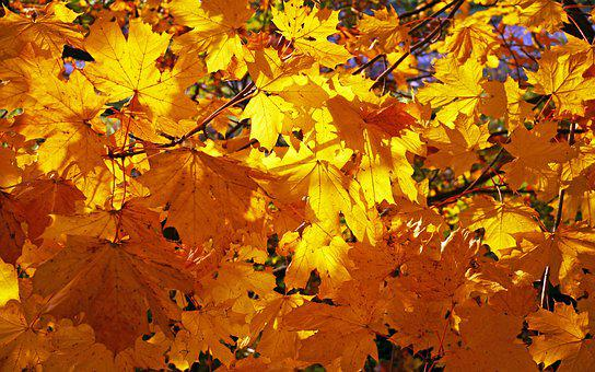 Fall Foliage, Golden Yellow, Maple, Leaves, Fall Leaves