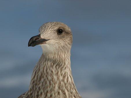 Seagull, Bird, Sky, Flying, Gull, Animal, Wildlife