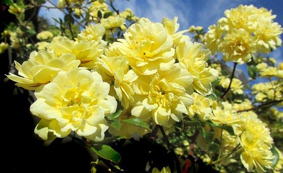 Yellow Rose, Climbing, Flower