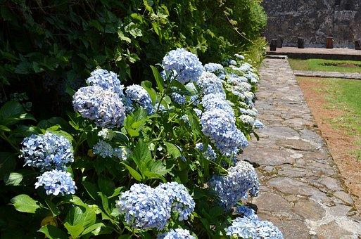 Hydrangea, Flower, Floral, Nature, Garden, Blossom