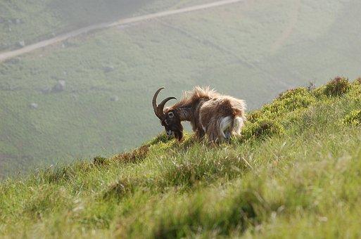 Wild, Mountain, Goat
