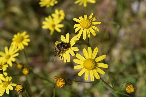Daisies, Bee, Insect, Margaret, Flower, Insects