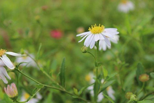 Daisy, White Flowers, Mead, Still