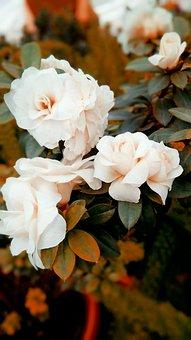 Flowers, Rose, Roses, Nature, Bloom, White, Blossom