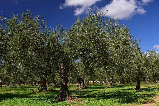 Olive Trees, Olive Field, Mediterranean, Green, Nature
