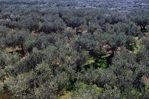 Olive Trees, Plantation, Olive Grove, Agriculture
