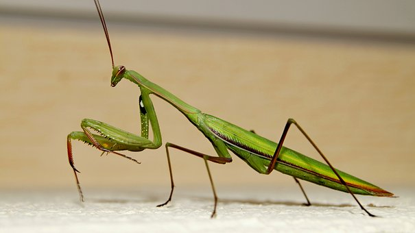 Praying Mantis, Insects, Beautiful, Green, Sand