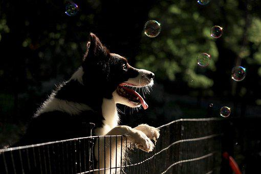 Dog, Puppy, Collie, Border Collie, Bubble, Bubbles