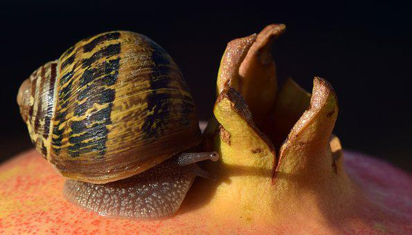 Snail, Pomegranate, Close, Nature, Red, Fruit