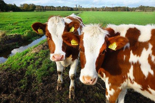 Animal, Mammal, Cow, Standing, Cattle, Livestock