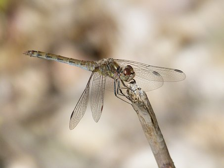 Dragonfly, Yellow Dragonfly, Sympetrum Sinaiticum, Stem