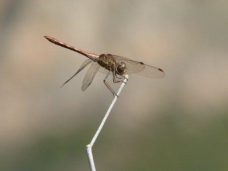 Dragonfly, Stem, Yellow Dragonfly, Sympetrum Sinaiticum