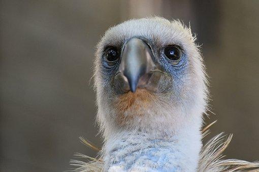 Vulture, Raptor, Scavenger, Bird, Head, Griffon Vulture