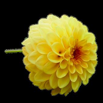 Dahlia, Dahlia Flower, Yellow, Garden, Late Summer