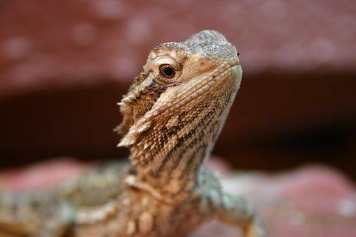 Bearded Dragon, Reptile, Lizard, Animal, Scale, Zoo