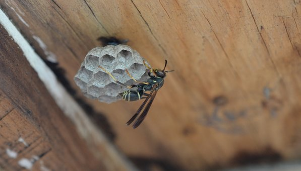 Insect, Wasp, Animal, Nest, Building