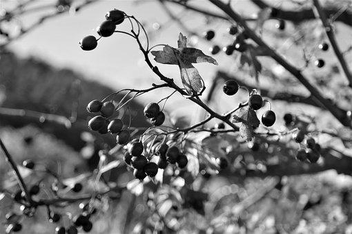 Fruits, Autumn, Nature, Barberry, Plant