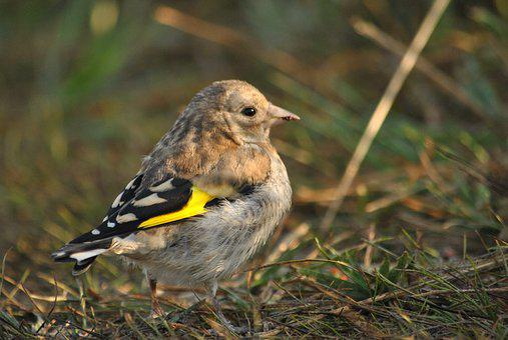 Bird, Ptenec, Goldfinch