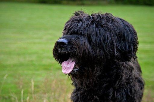 Dog, Briard, Tongue