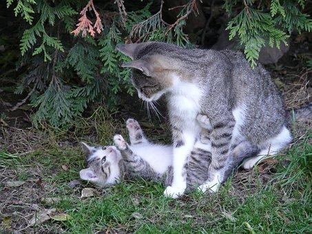 Cat, Pet, Animal, Kitten, Kitty, Mother