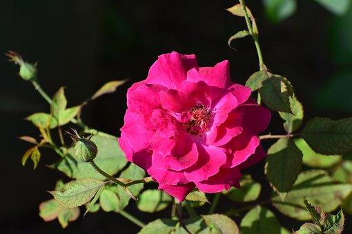 Flower, Rose, Red, Red Roses, Love, Red Rose, Gift
