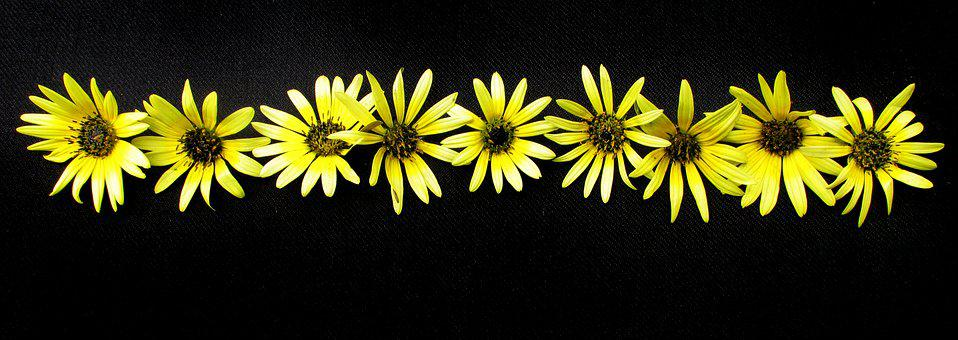 Daisies, Yellow, On Black Background