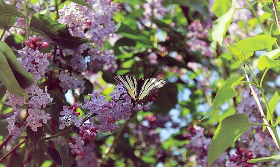 Spring, Lilac, Butterfly, Bloom, Nature, Plant