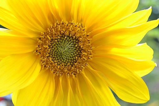 Sun Flower, Macro, Yellow, Flower, Close, Plant, Sunny