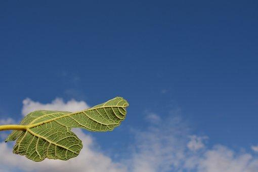 Fig Leaf, Leaf, Close, Green, Nature, Macro, Sky