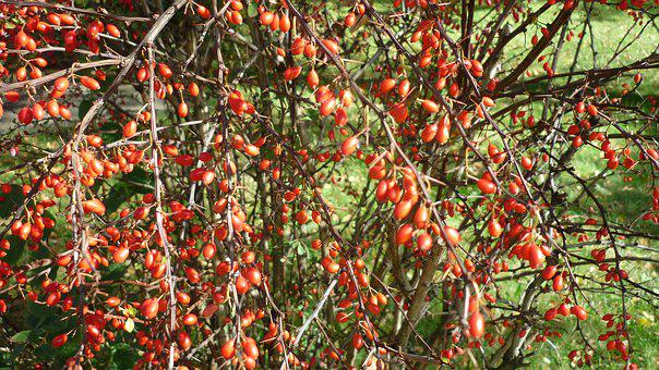 Berries, Small, Ovoid, Red, Bush, Hedge, Front Yard