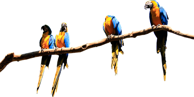 Parrots, Branch, Isolated, Parrot, Bird, Plumage, Birds
