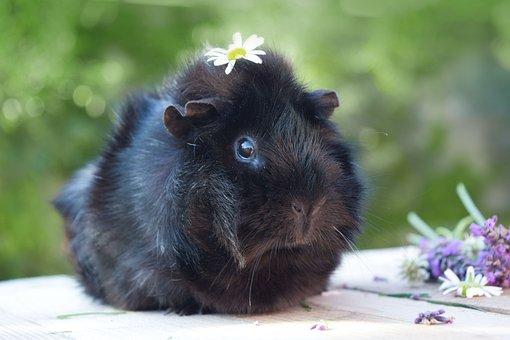 Guinea Pig, Pet, Animal, Spring, Guinea, Pig, Cute
