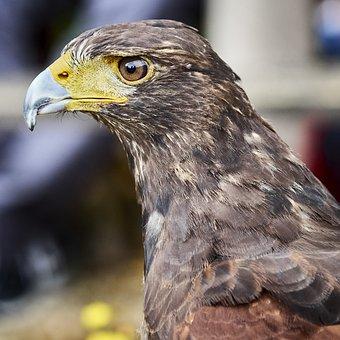Bird, Raptor, Eye, Bird Of Prey, Animal, Nature